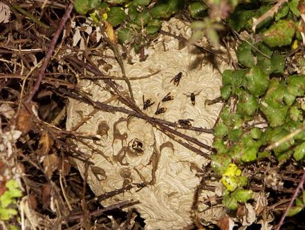 Asian-hornet-nest-in-a-bush-in-France