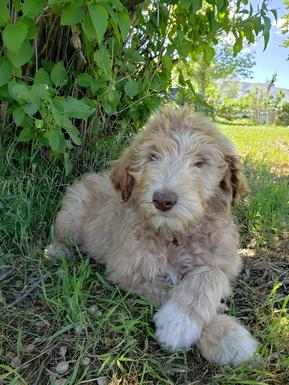 Aussiedoodle puppy Northwestaussiedoodles.com