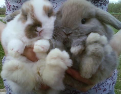 Bunnies For Sale Near Me >> Rabbits Holland Lops Dwarfs And Lionheads For Sale San Antonio