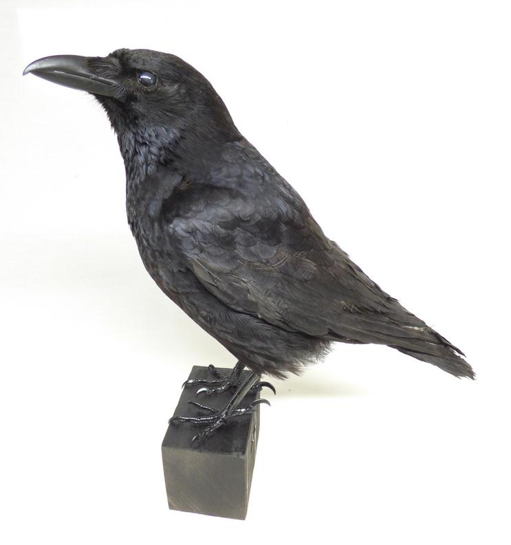 Adrian Johnstone, professional Taxidermist since 1981. Supplier to private collectors, schools, museums, businesses, and the entertainment world. Taxidermy is highly collectable. A taxidermy stuffed Carrion Crow (639) in excellent condition. Mobile: 07745 399515 Email: adrianjohnstone@btinternet.com