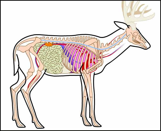 Deer vitals diagram ccuart Gallery