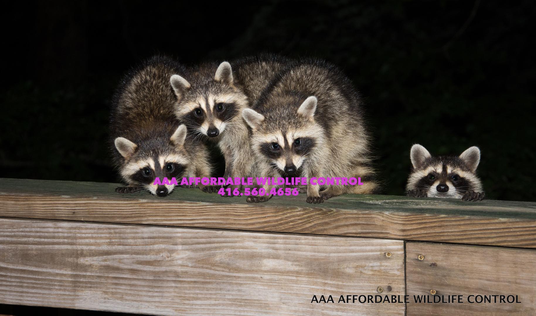 raccoon removal toronto 295 raccoon u0026 squirrel removal toronto