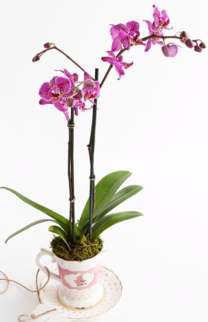 Orchid Online, purple flowers, Phalaenopsis-orchid care- Indoor Plants | House plants | The Little Flowershop