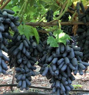 Kết quả hình ảnh cho kỹ thuật trồng cây nho NGÓN  TAY