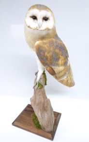 Adrian Johnstone, professional Taxidermist since 1981. Supplier to private collectors, schools, museums, businesses, and the entertainment world. Taxidermy is highly collectable. A taxidermy stuffed Barn Owl (9803), in excellent condition.