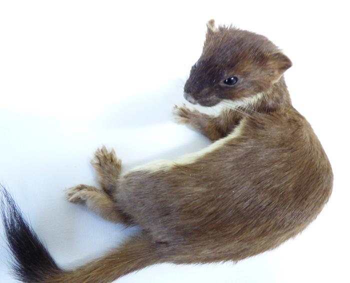 Adrian Johnstone, professional Taxidermist since 1981. Supplier to private collectors, schools, museums, businesses, and the entertainment world. Taxidermy is highly collectable. A taxidermy stuffed adult Stoat (14), in excellent condition.