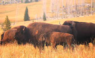 Yellowstone Bison, Mirror Plateau, Yellowstone National Park, wildlife, pack trips, day rides, Mike Thompson