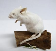 Adrian Johnstone, professional Taxidermist since 1981. Supplier to private collectors, schools, museums, businesses, and the entertainment world. Taxidermy is highly collectable. A taxidermy stuffed White Mouse (29) in excellent condition. Mobile: 07745 399515 Email: adrianjohnstone@btinternet.com