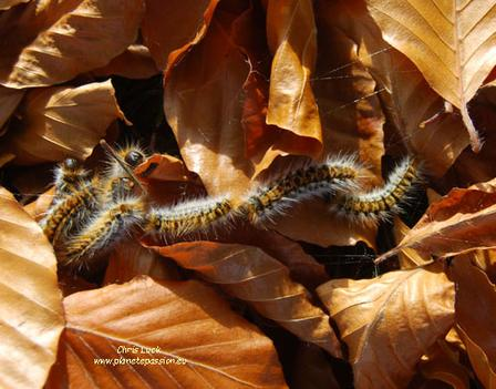 Pine-processionary-caterpillars-France
