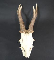 Adrian Johnstone, professional Taxidermist since 1981. Supplier to private collectors, schools, museums, businesses, and the entertainment world. Taxidermy is highly collectable. Roe Deer Antlers (set 3), in excellent condition.