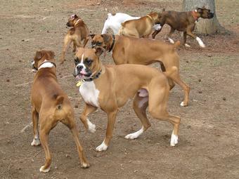 KY's BOXERS - Boxer Puppies, Boxers, Boxer Puppies for Sale