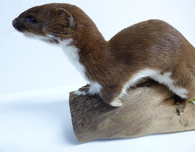 Adrian Johnstone, professional Taxidermist since 1981. Supplier to private collectors, schools, museums, businesses, and the entertainment world. Taxidermy is highly collectable. A taxidermy stuffed Weasel (19), in excellent condition. Mobile: 07745 399515 Email: adrianjohnstone@btinternet.com