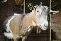 Syrah, Nigerian Dwarf goat at my peeps farm.