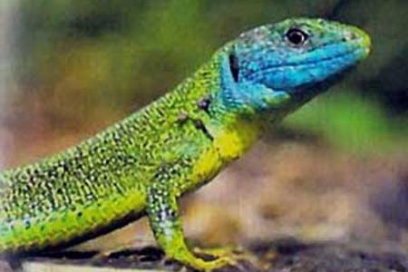 Male-green-lizard-with-blue-head-in-France