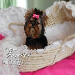 Baby doll yorkie, extreme baby doll yorkie