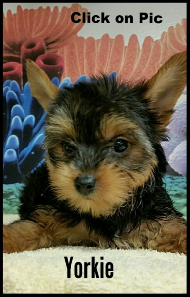 Teacup yorkie for sale, yorkshire puppies for sale, small yorkie for sale, toy yorkie for sale, puppies, puppy, puppies for sale, puppy for sale, Gold yorkie for sale, Gray yorkie for sale, black and gold yorkie for sale, small puppy for sale