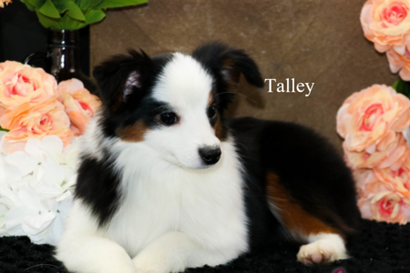 Toy Aussie Talley Northwestaussiedoodles.com
