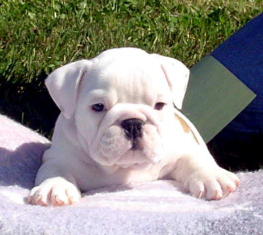 Skymeadow Farm - English & French Bulldog Puppies