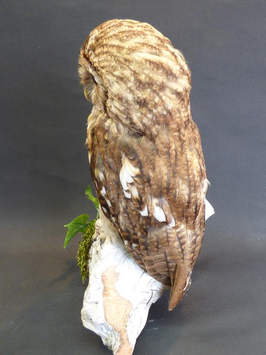 Adrian Johnstone, professional Taxidermist since 1981. Supplier to private collectors, schools, museums, businesses, and the entertainment world. Taxidermy is highly collectable. A taxidermy stuffed Tawny Owl (7742), in excellent condition.