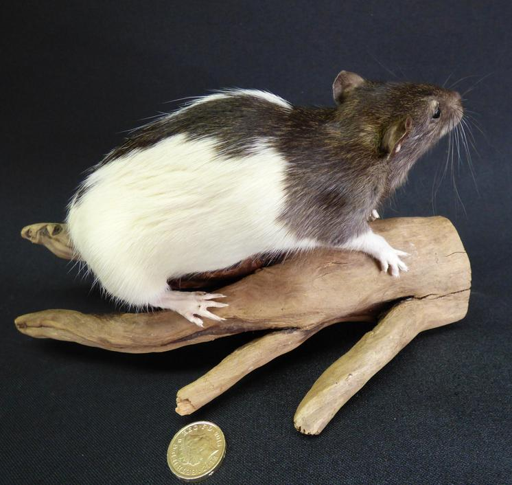 Adrian Johnstone, Professional Taxidermist since 1981. Supplier to private collectors, schools, museums, businesses and the entertainment world. Taxidermy is highly collectable. A taxidermy stuffed Grey And White Rat (25), in excellent condition.