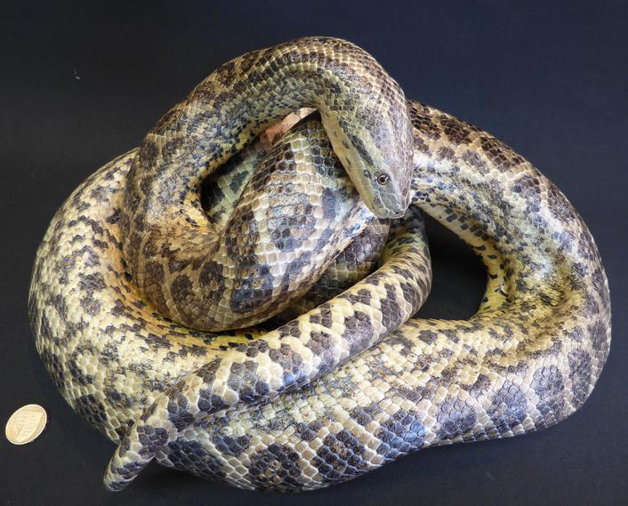 Adrian Johnstone, Professional Taxidermist since 1981. Supplier to private collectors, schools, museums, businesses and the entertainment world. Taxidermy is highly collectable. A taxidermy stuffed Yellow Anaconda (102), in excellent condition.