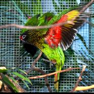Yellow Streaked Lory