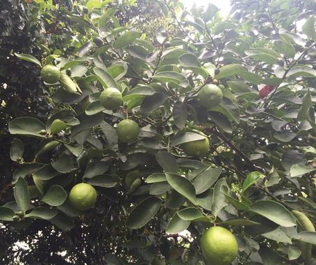 one tree, so many organic limes