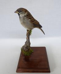 Adrian Johnstone, professional Taxidermist since 1981. Supplier to private collectors, schools, museums, businesses, and the entertainment world. Taxidermy is highly collectable. A taxidermy stuffed Chaffinch (log no:14), in excellent condition.
