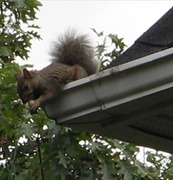 squirrel removal shelbyville, squirrel control shelbyville, squirrel problems shelbyville, squirrel in attic shelbyville, squirrel in chimney shelbyville, squirrel in fireplace shelbyville, squirrel chewing shelbyville, squirrel scratching shelbyville