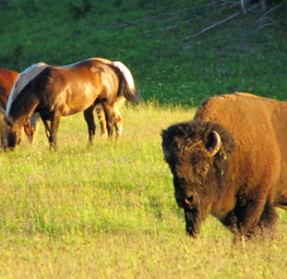 Yellowstone National Park, pack trips, wildlife, bison, horses