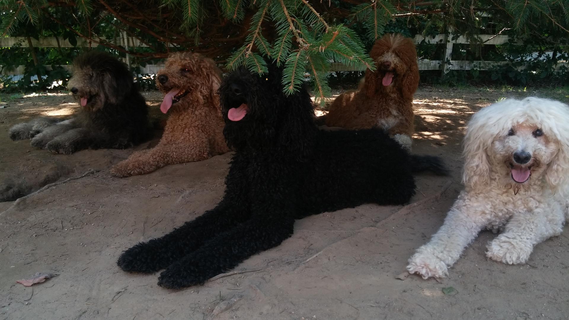 Poocrew Breeder Of Standard Poodles Standard Poodle