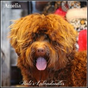Hale's Australian Labradoodle named Caught You Lookin'