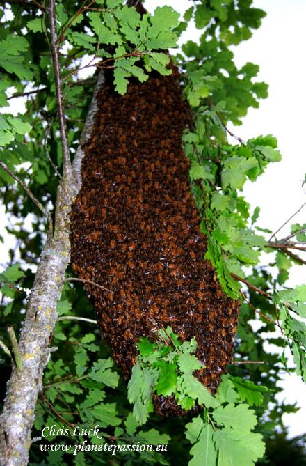 Large-swarm-of-bees-France
