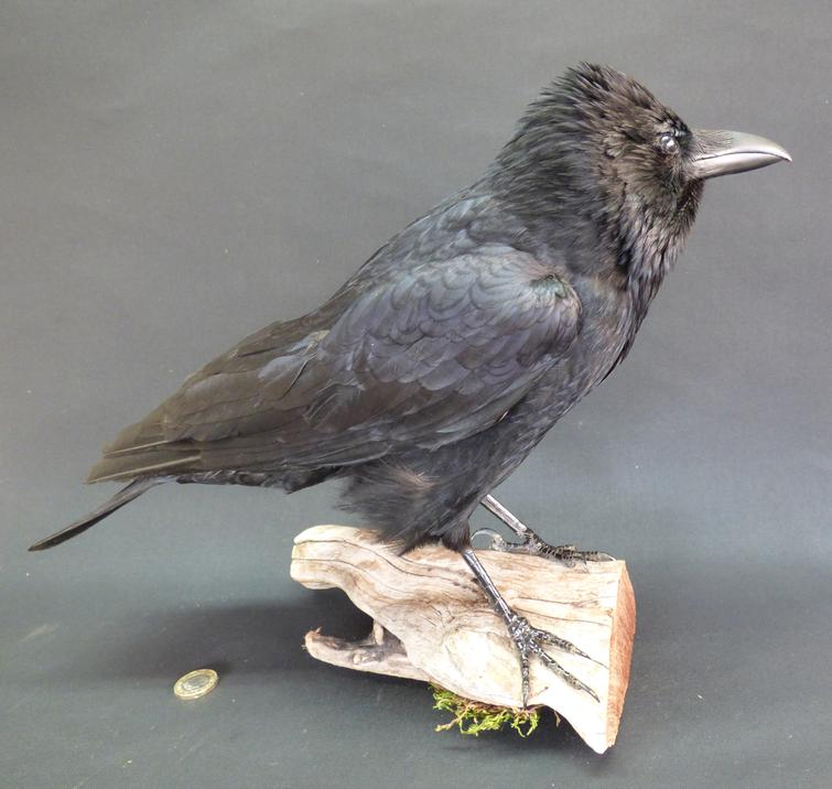 Adrian Johnstone, Professional Taxidermist since 1981. Supplier to private collectors, schools, museums, businesses and the entertainment world. Taxidermy is highly collectable. A taxidermy stuffed Carrion Crow (9192), in excellent condition.