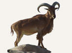 Hunting Barbary Sheep South Africa