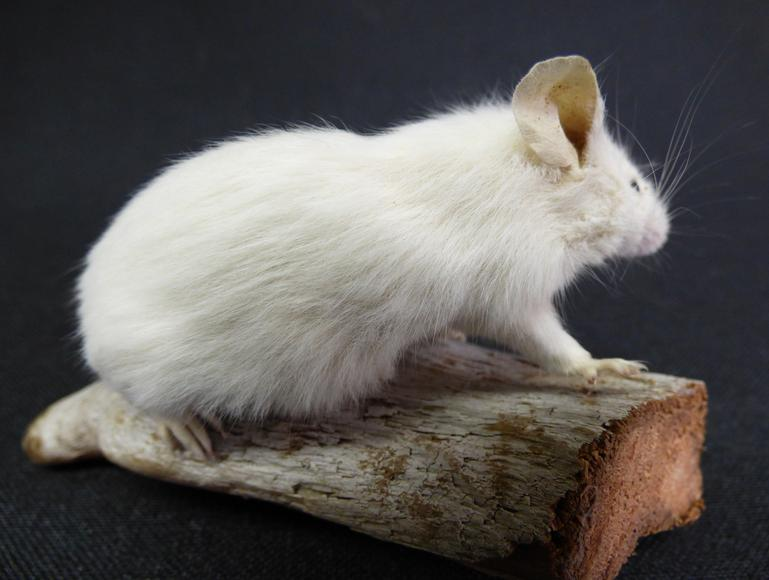 Adrian Johnstone, professional Taxidermist since 1981. Supplier to private collectors, schools, museums, businesses, and the entertainment world. Taxidermy is highly collectable. A taxidermy stuffed White Mouse (40), in excellent condition.