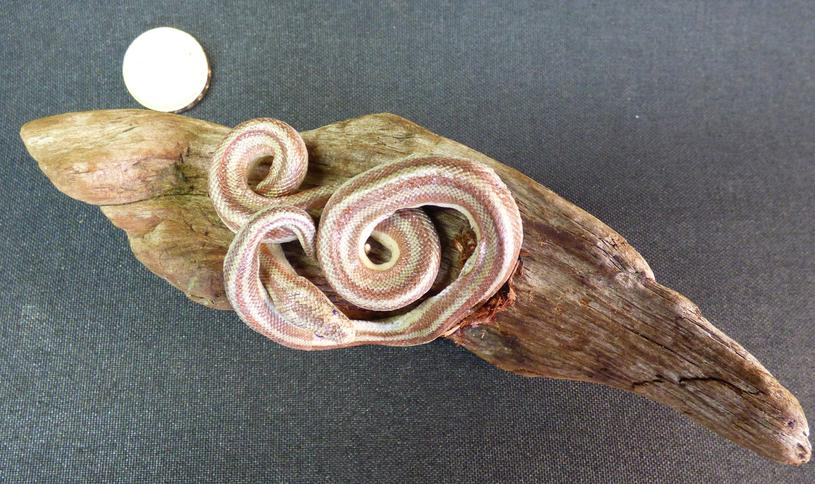 Adrian Johnstone, Professional Taxidermist since 1981. Supplier to private collectors, schools, museums, businesses and the entertainment world. Taxidermy is highly collectable. A taxidermy stuffed Snake (48A), in excellent condition.