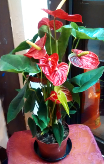 Red Anthurium| Indoor plants | House plants | The Little Flowershop