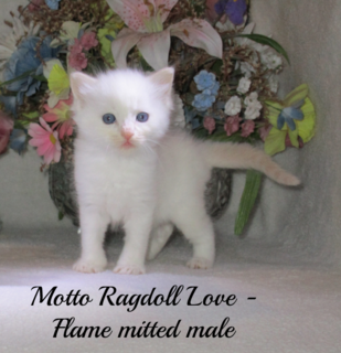Ragdoll Kittens for Sale   Our Garden Treasures