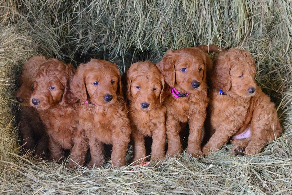 Goldendoodle Puppies For Sale Golden Doodle Puppies