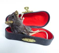 Adrian Johnstone, professional Taxidermist since 1981. Supplier to private collectors, schools, museums, businesses, and the entertainment world. Taxidermy is highly collectable. A taxidermy stuffed Mouse In Violin Case (55), in excellent condition. Mobile: 07745 399515 Email: adrianjohnstone@btinternet.com