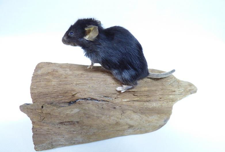 Adrian Johnstone, professional Taxidermist since 1981. Supplier to private collectors, schools, museums, businesses, and the entertainment world. Taxidermy is highly collectable. A taxidermy stuffed Black Mouse (670) in excellent condition. Mobile: 07745 399515 Email: adrianjohnstone@btinternet.com
