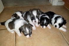 F1 MalShi Puppies