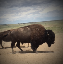 Buffalo on Colorado Ranch Managed by David Wentz