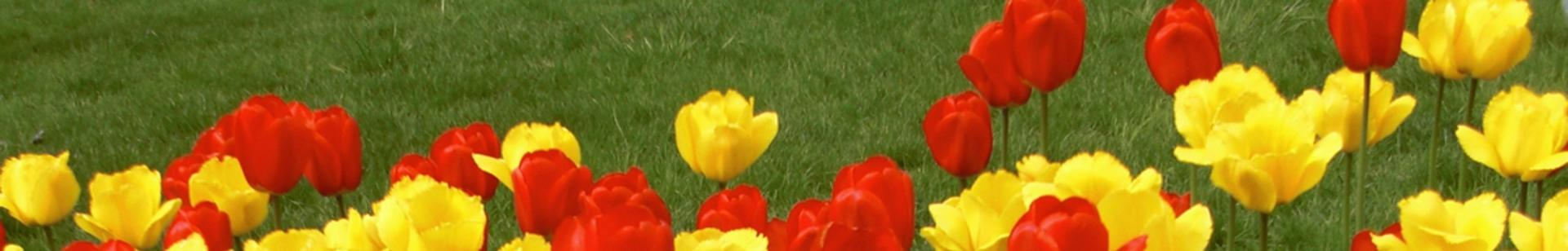 Tight shot of field of red and yellow tulips.