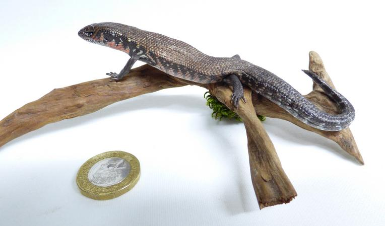 Adrian Johnstone, professional Taxidermist since 1981. Supplier to private collectors, schools, museums, businesses, and the entertainment world. Taxidermy is highly collectable. A taxidermy stuffed Skink (577) in excellent condition. Mobile: 07745 399515 Email: adrianjohnstone@btinternet.com