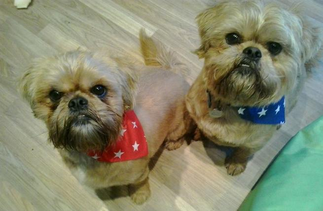 Pair of cute Shih tzu dogs