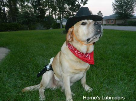Horne's Labradors - Labrador Stud Service