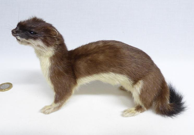Adrian Johnstone, professional Taxidermist since 1981. Supplier to private collectors, schools, museums, businesses, and the entertainment world. Taxidermy is highly collectable. A taxidermy stuffed Stoat (631), in excellent condition. Mobile: 07745 399515 Email: adrianjohnstone@btinternet.com