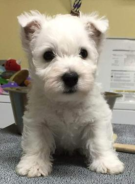 Contact & Club Information|San Francisco West Highland White Terrier